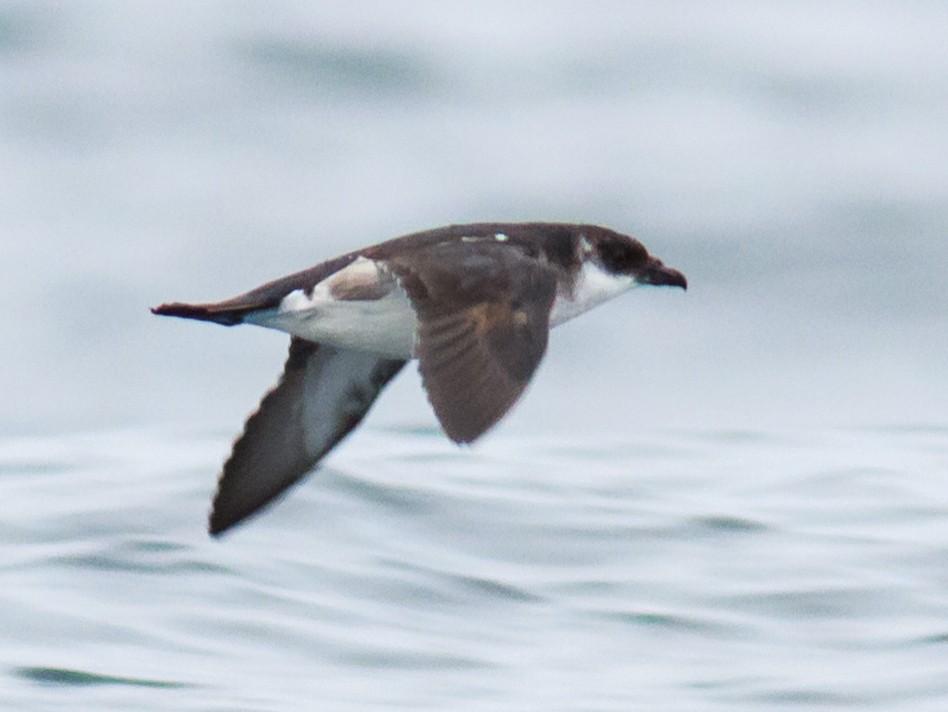 Peruvian Diving-Petrel - Eric Kershner