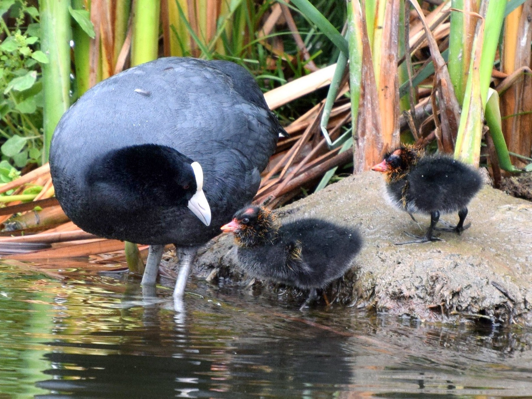 Slate-colored Coot - irina shulgina