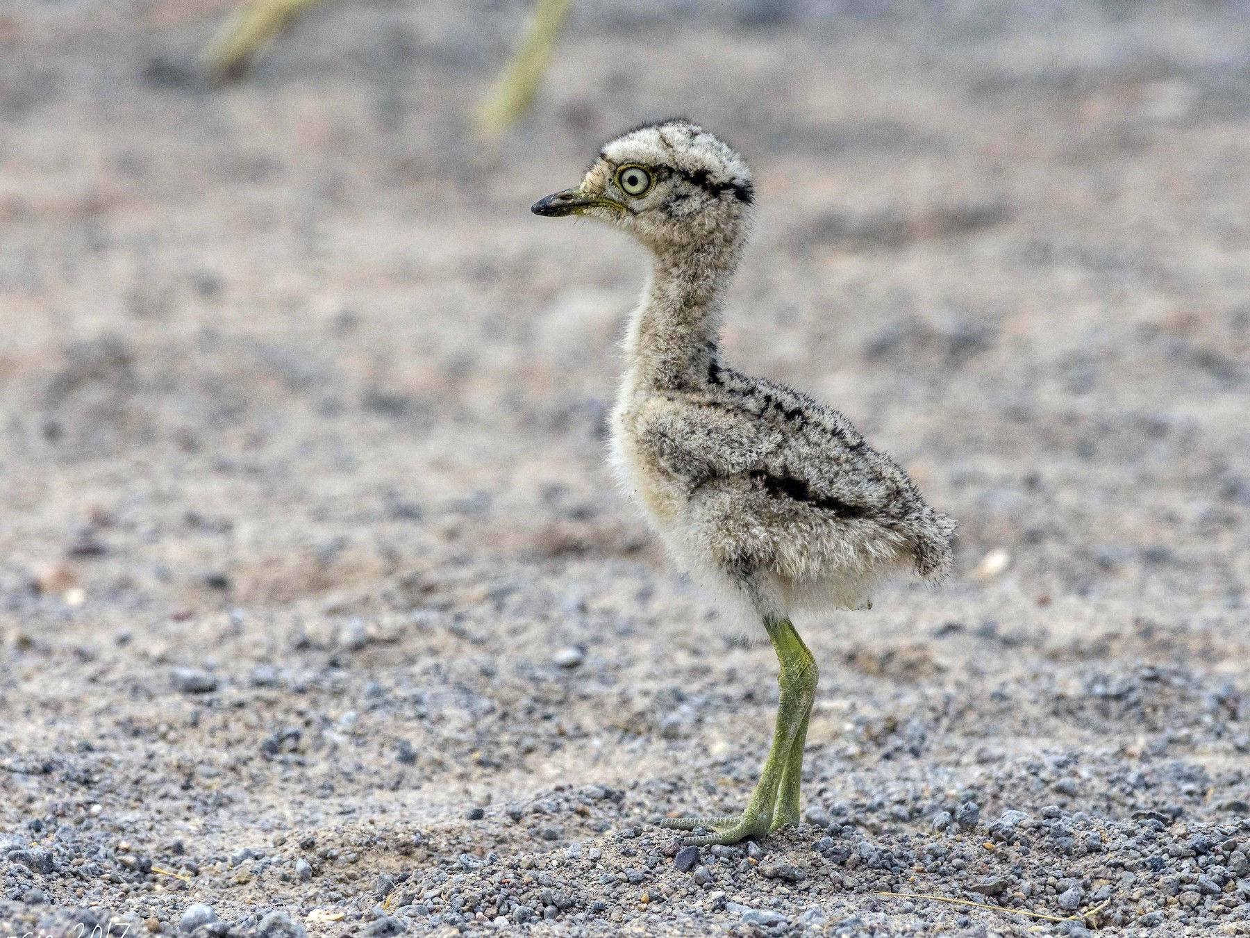 Peruvian Thick-knee - VERONICA ARAYA GARCIA