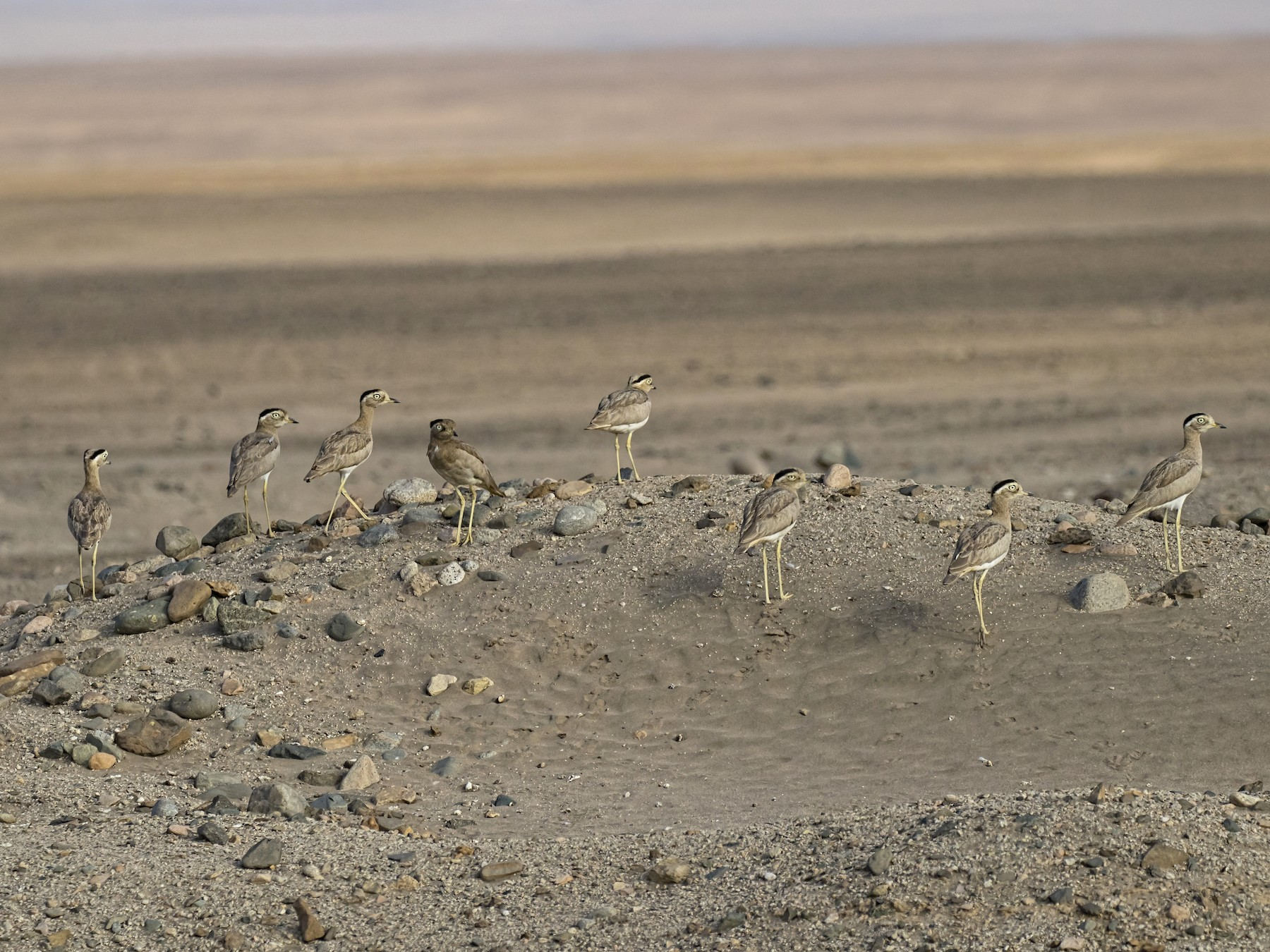 Peruvian Thick-knee - Peter Hawrylyshyn