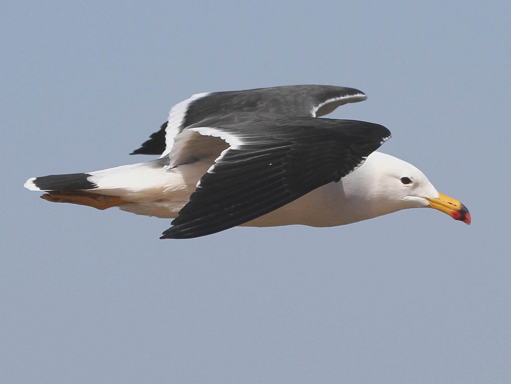 Belcher's Gull - Stephen Gast