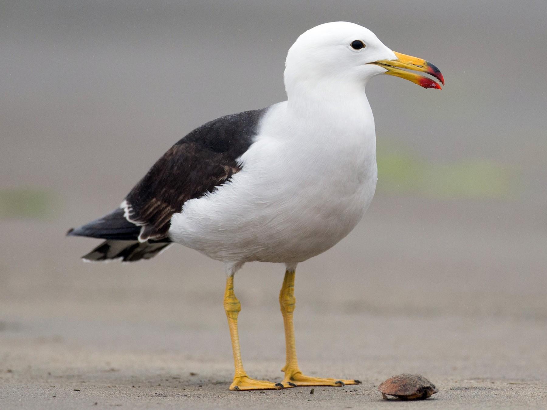 Belcher's Gull - eBird