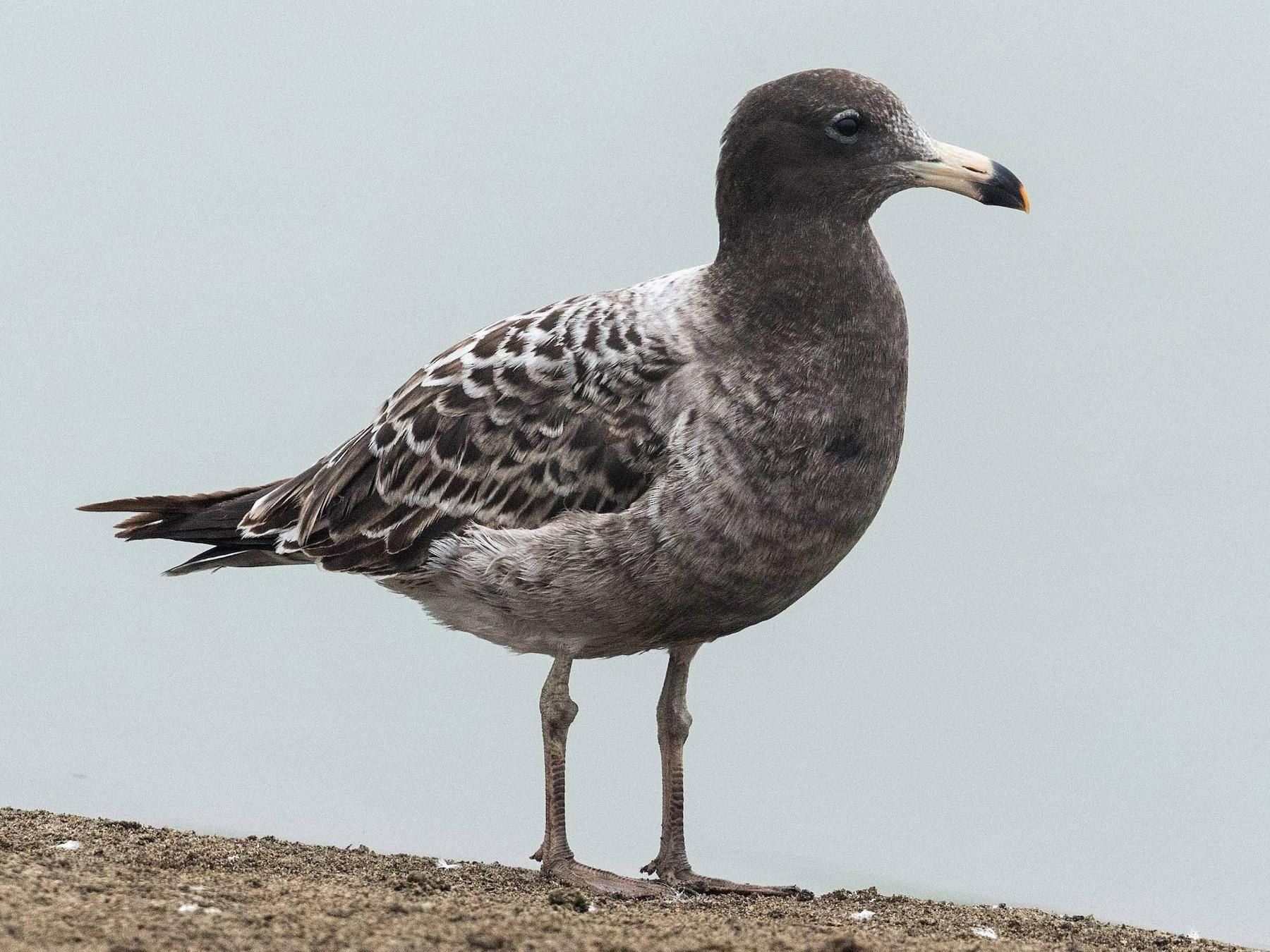 Belcher's Gull - Eric VanderWerf