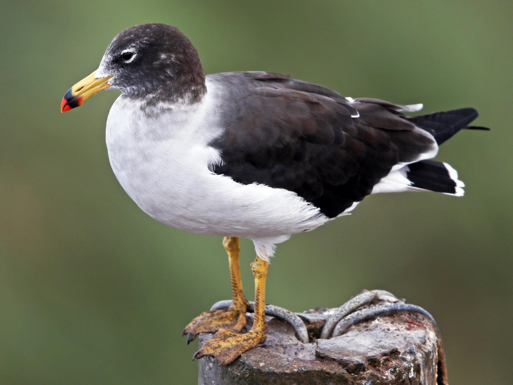 Belcher's Gull - Jeff Tingle