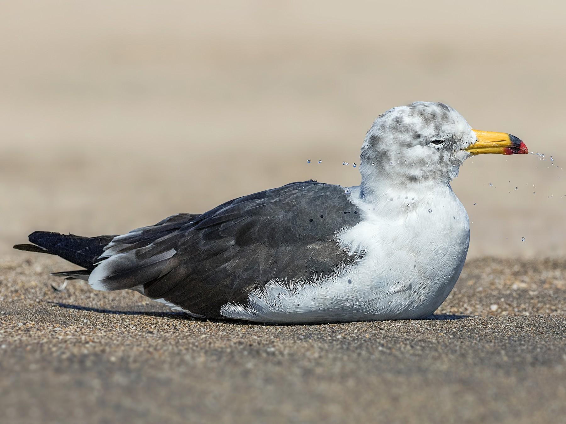Belcher's Gull - Pio Marshall