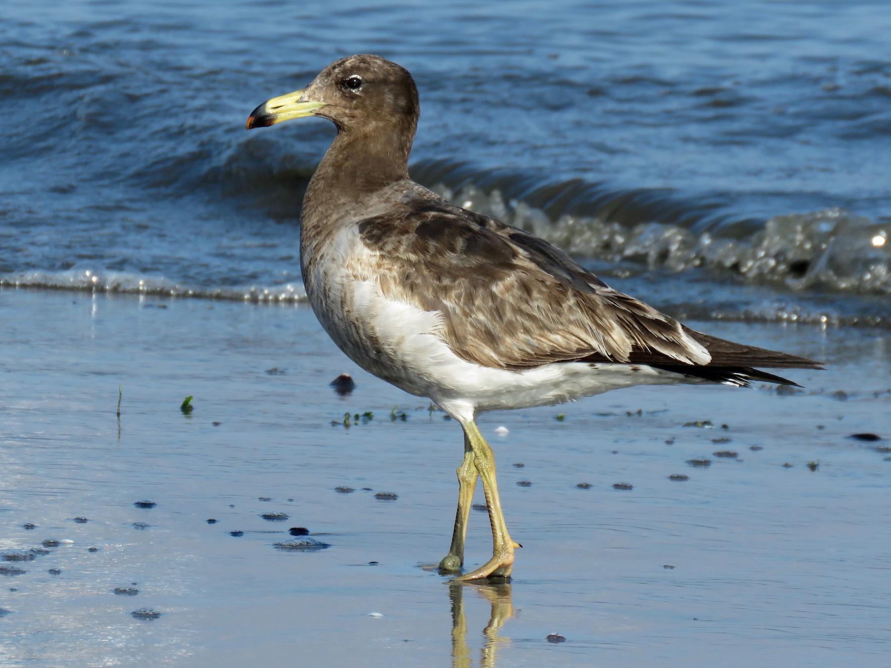 Belcher's Gull - John van Dort