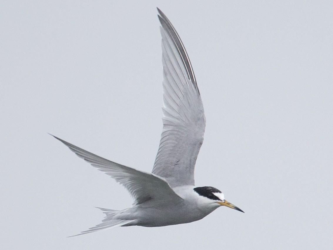 Peruvian Tern - Chris Wood