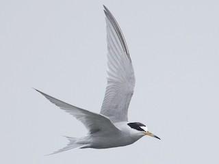 - Peruvian Tern