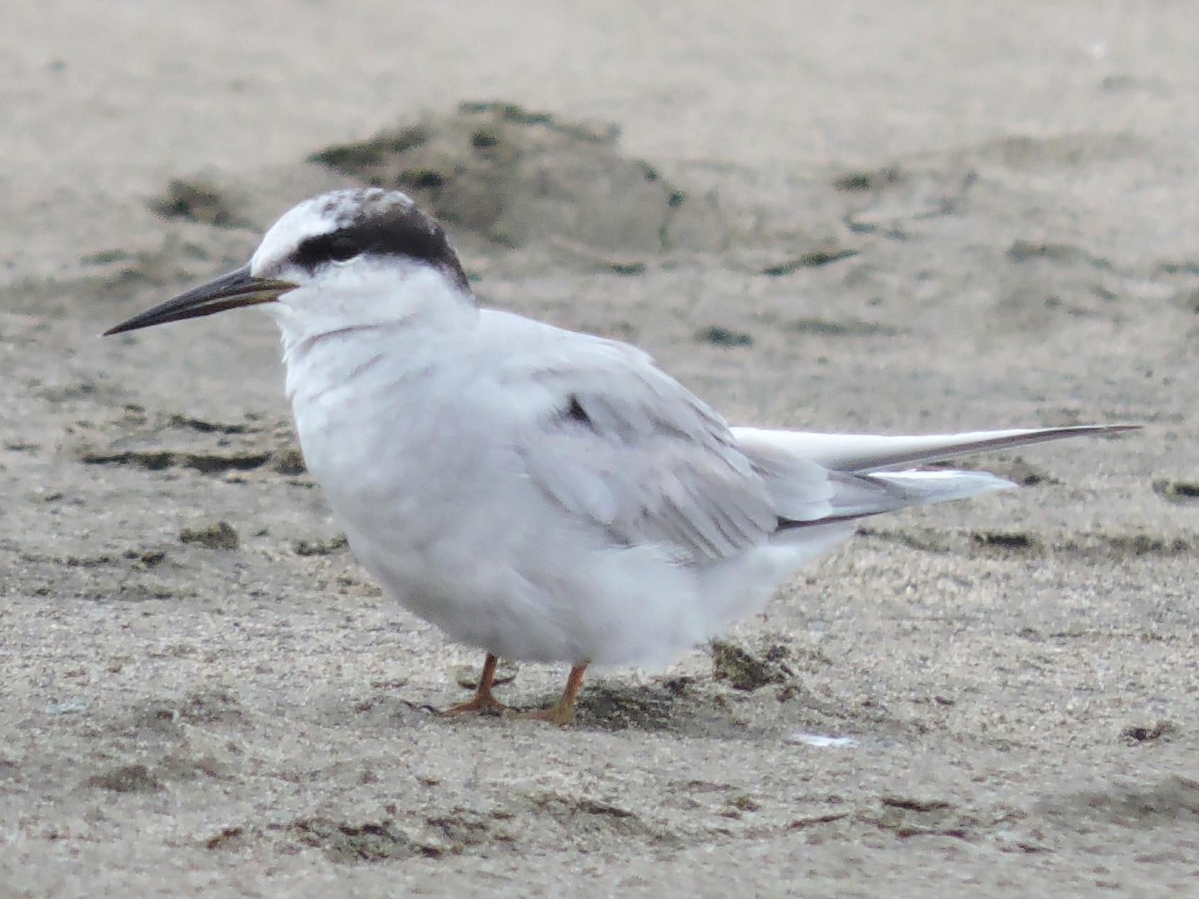 Peruvian Tern - Igor Lazo - CORBIDI