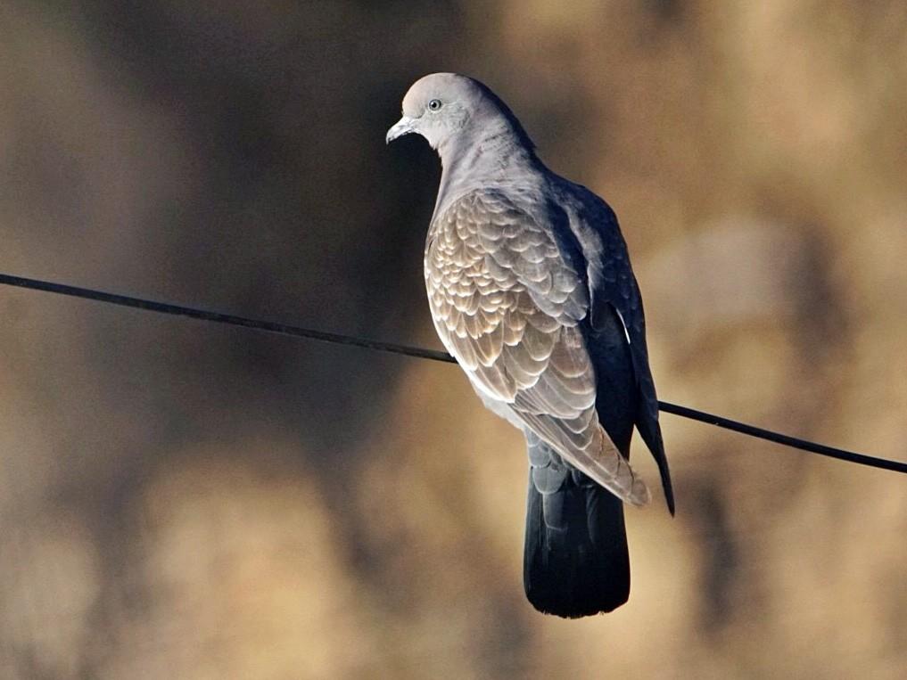 Spot-winged Pigeon - marcelo muñoz