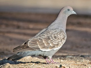 - Spot-winged Pigeon