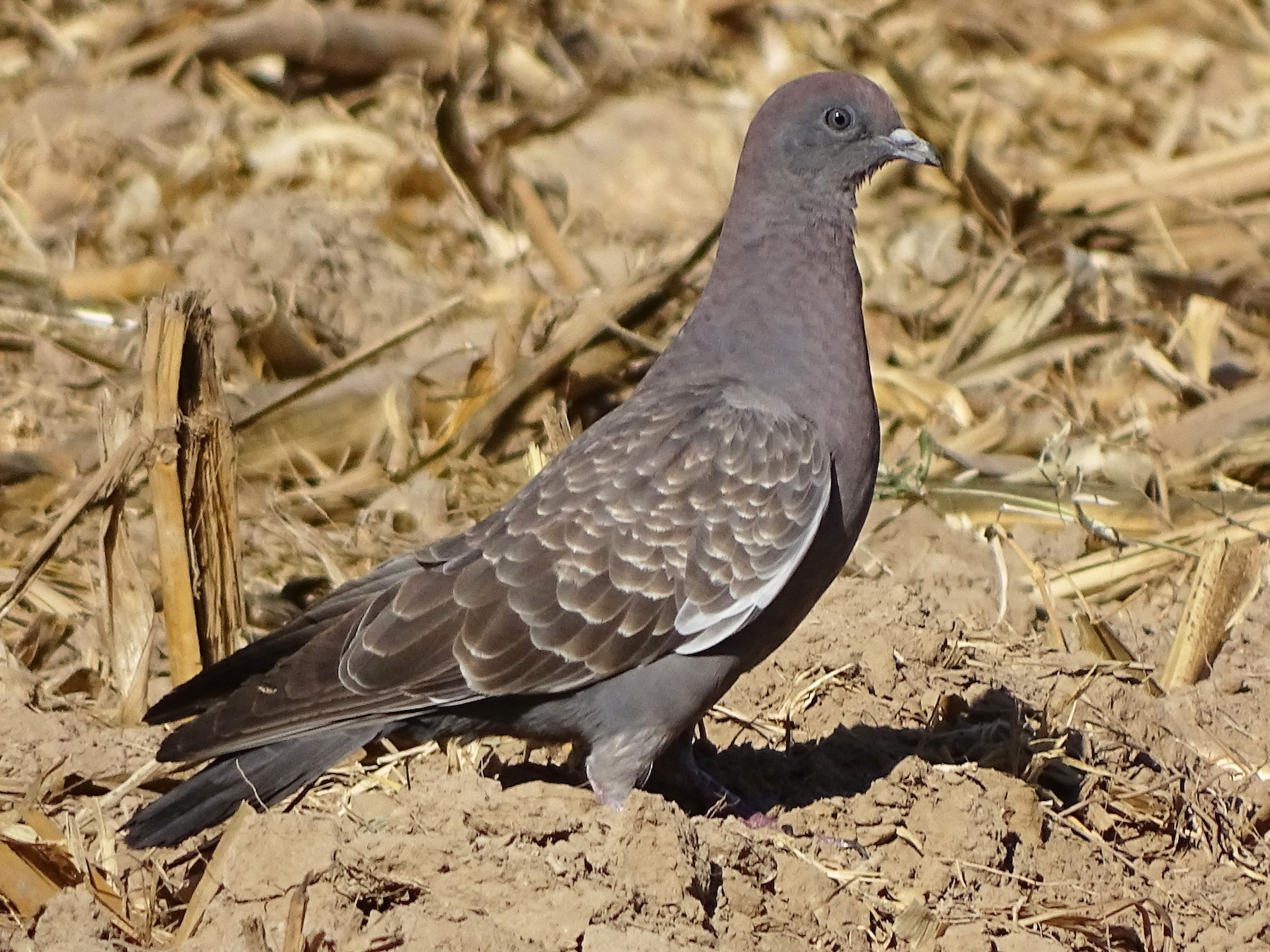 Spot-winged Pigeon - Charly Moreno Taucare