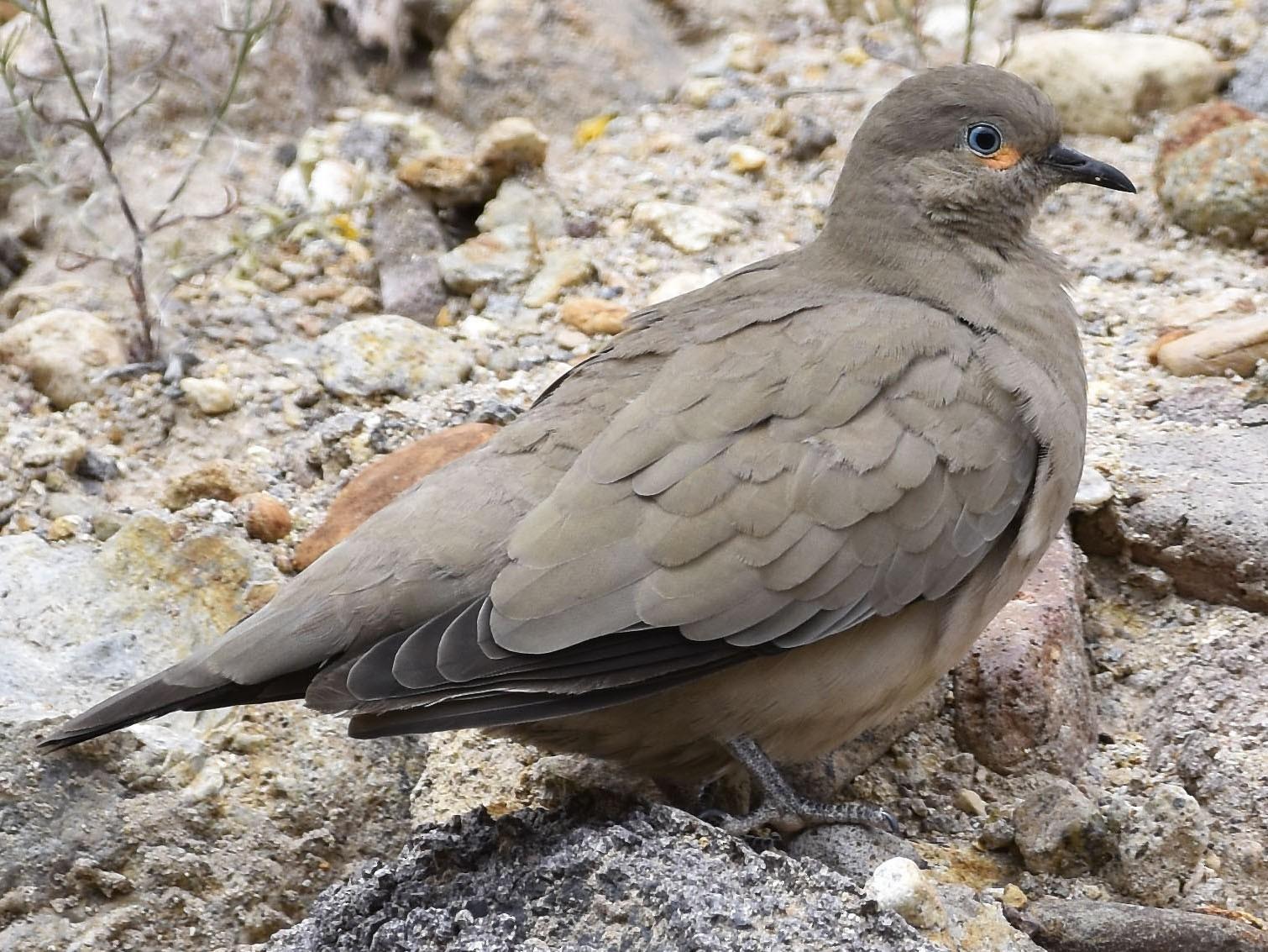 Black-winged Ground Dove - VERONICA ARAYA GARCIA