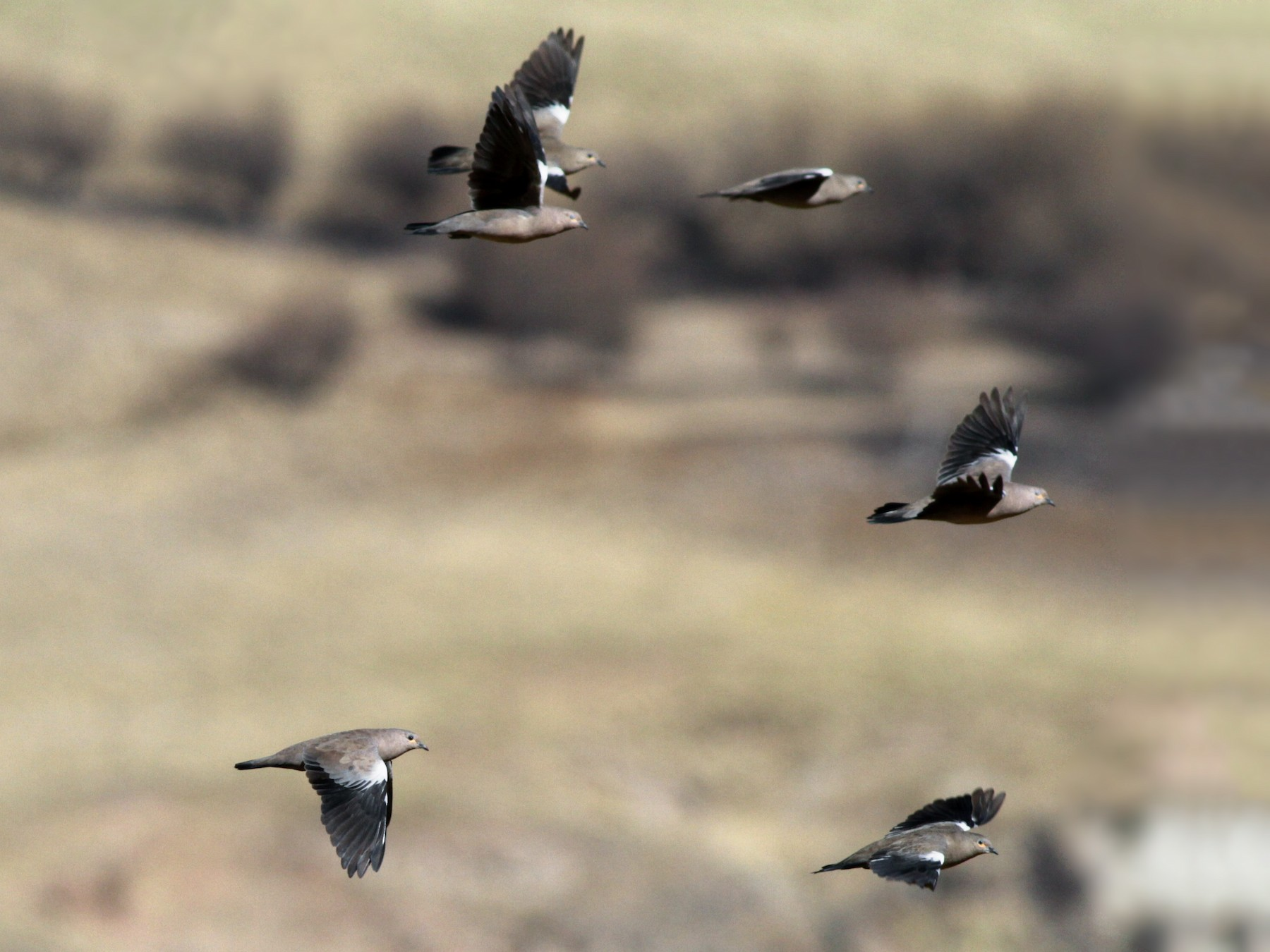 Black-winged Ground Dove - Ian Davies