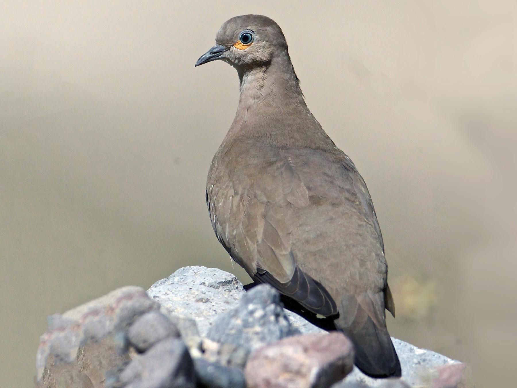 Black-winged Ground Dove - Eric Barnes