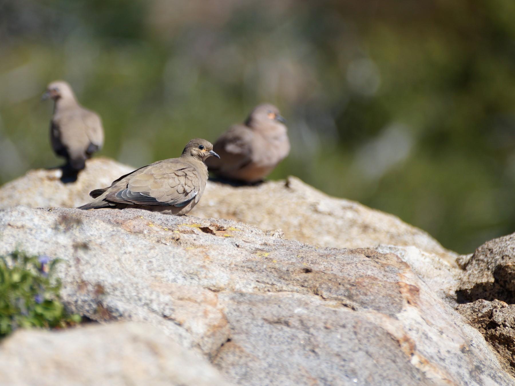Black-winged Ground Dove - Eduardo Quintanilla