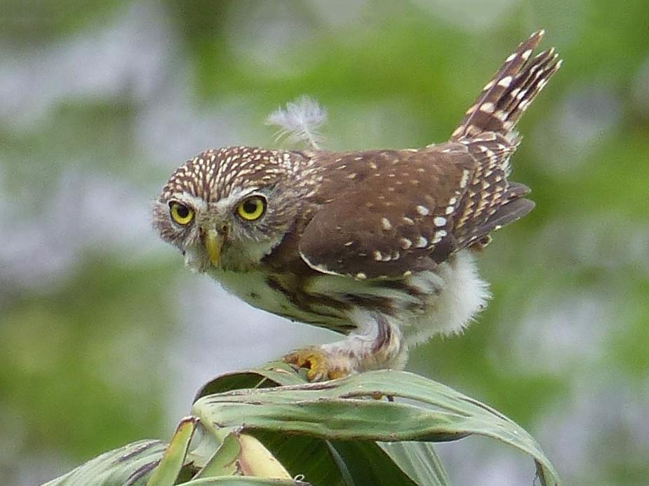 Peruvian Pygmy-Owl - Lisa Brunetti