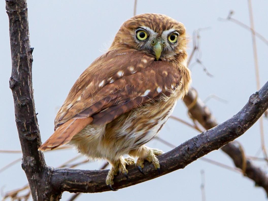Peruvian Pygmy-Owl - Kevin Berkoff