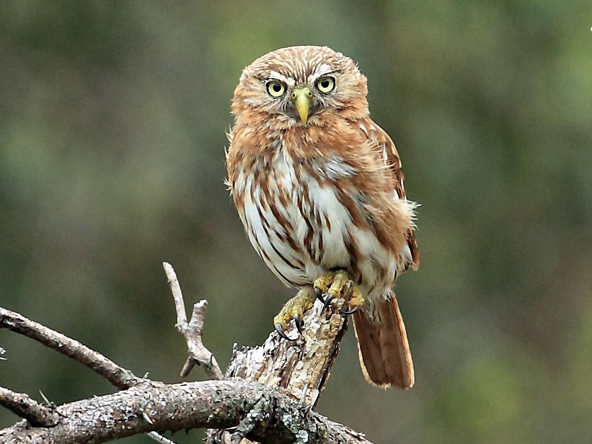 Peruvian Pygmy-Owl - Nigel Voaden