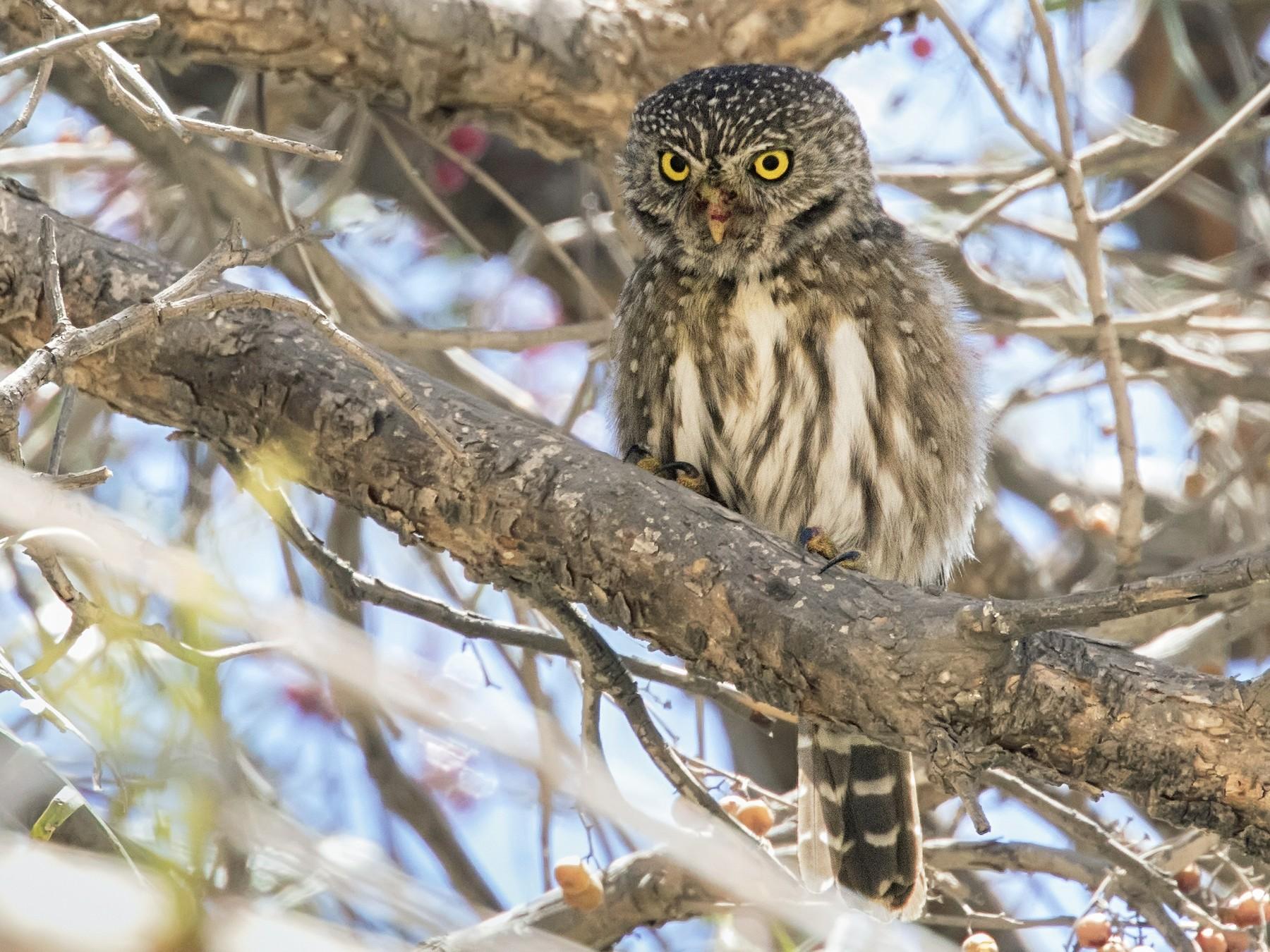 Peruvian Pygmy-Owl - Pio Marshall
