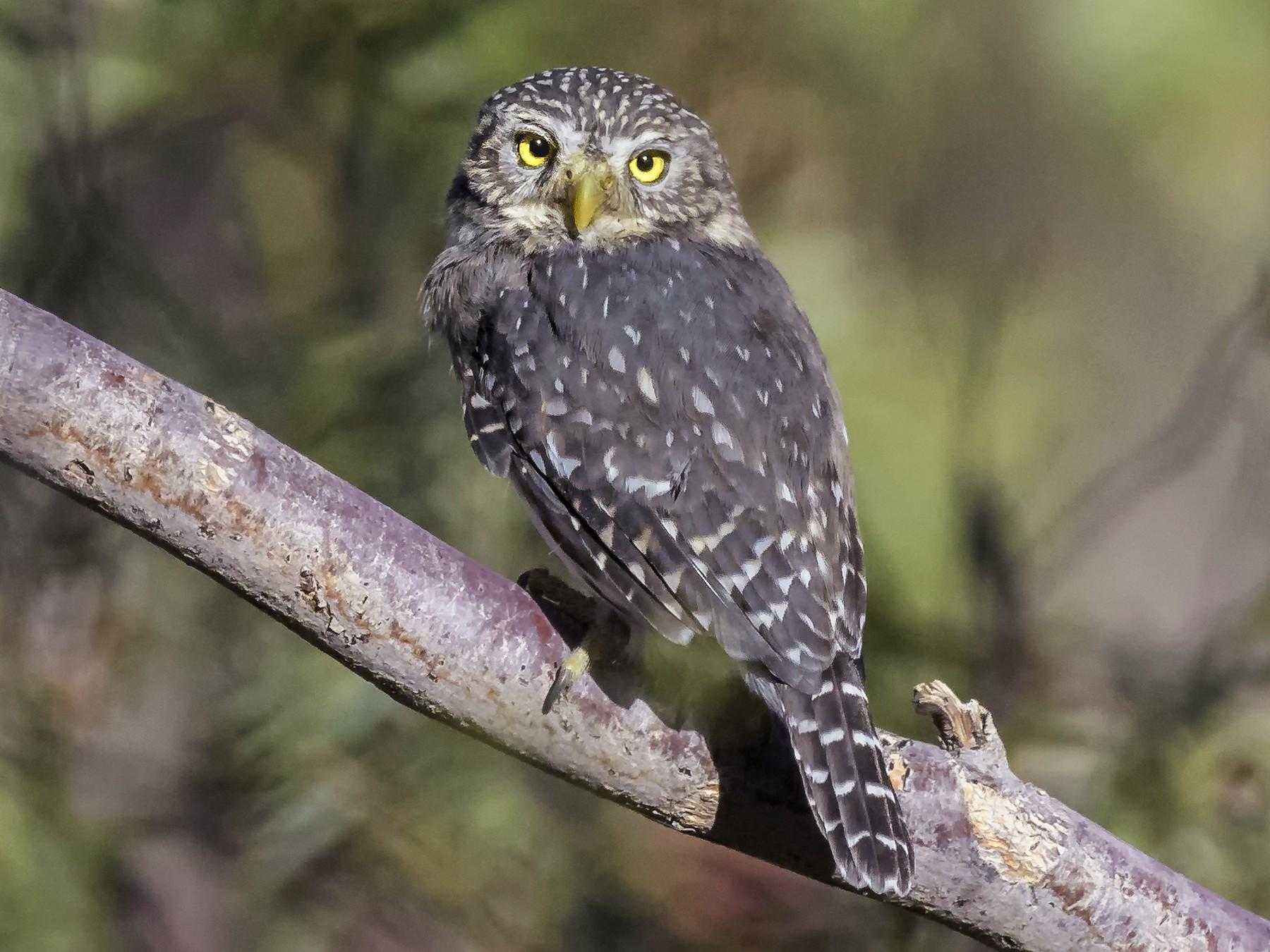 Peruvian Pygmy-Owl - VERONICA ARAYA GARCIA
