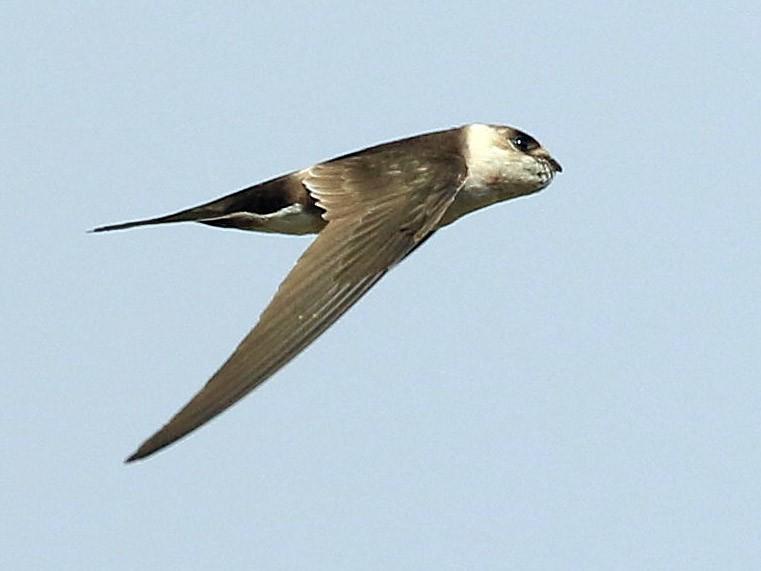 Andean Swift - Patrick MONNEY