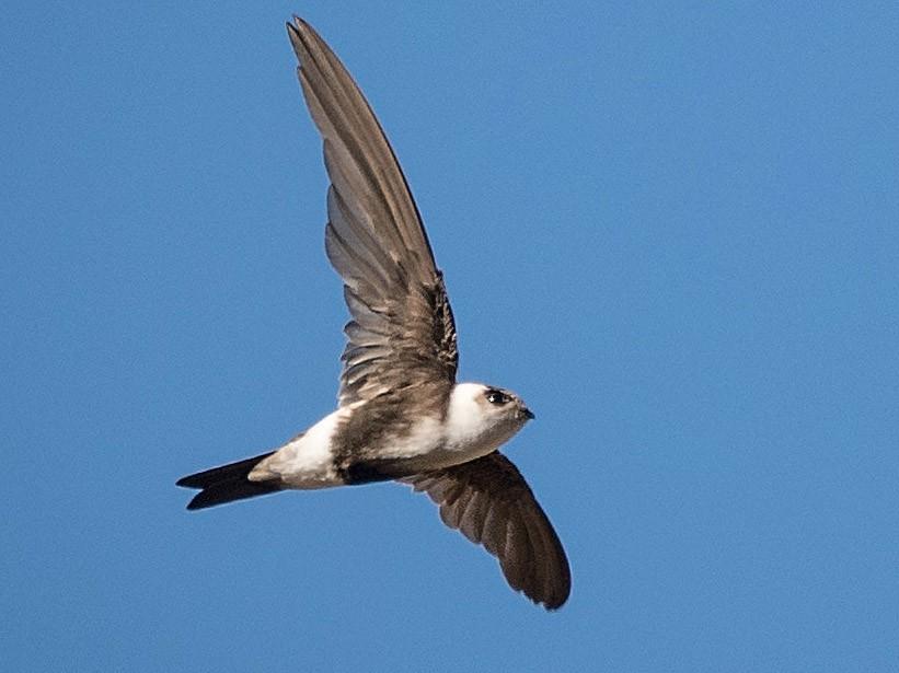 Andean Swift - Vicente Pantoja Maggi