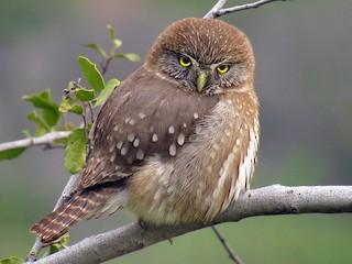 - Austral Pygmy-Owl
