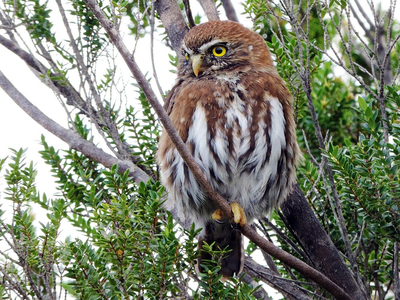 Austral Pygmy-Owl - Christian  Araos