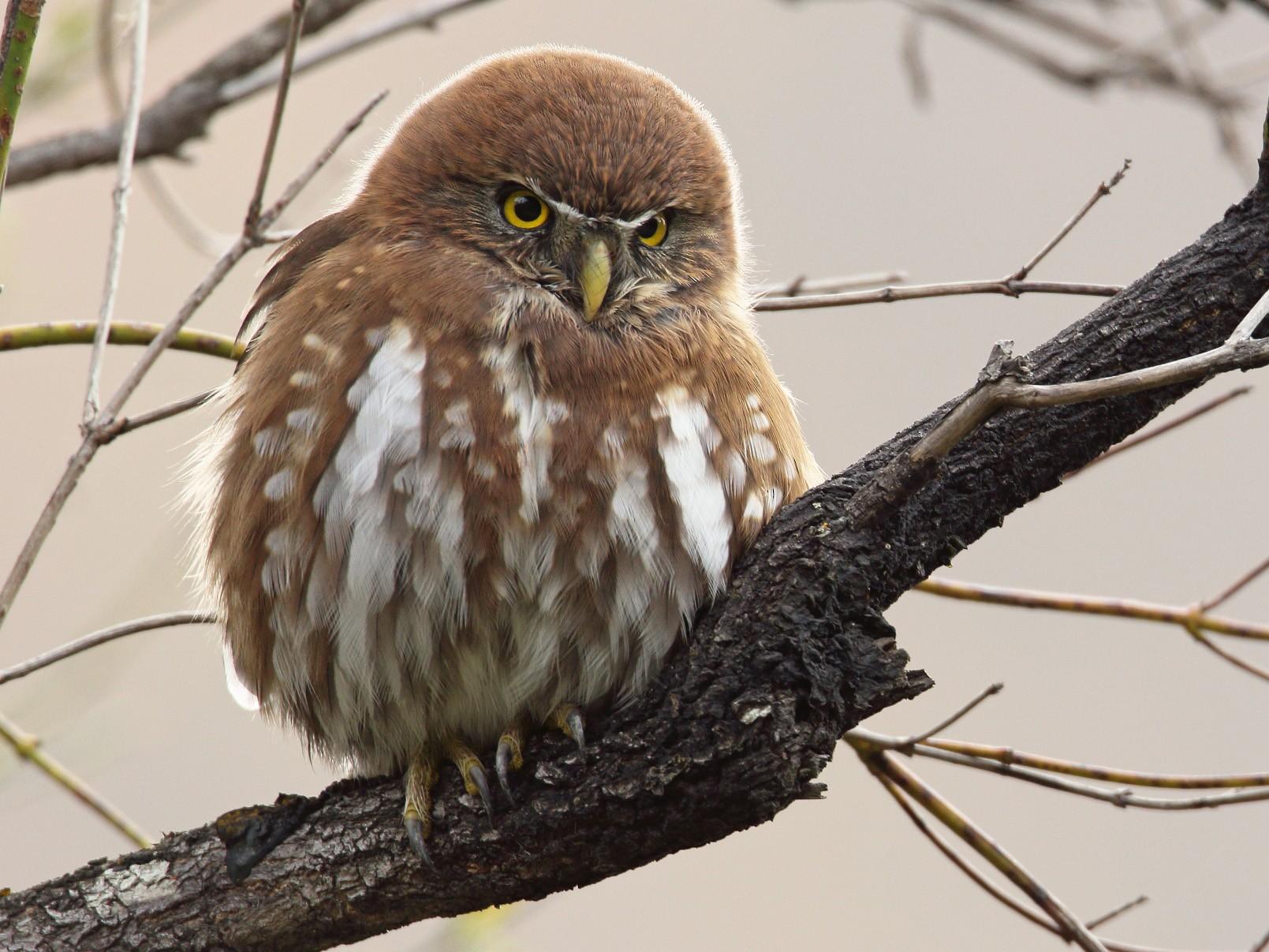 Austral Pygmy-Owl - Martjan Lammertink