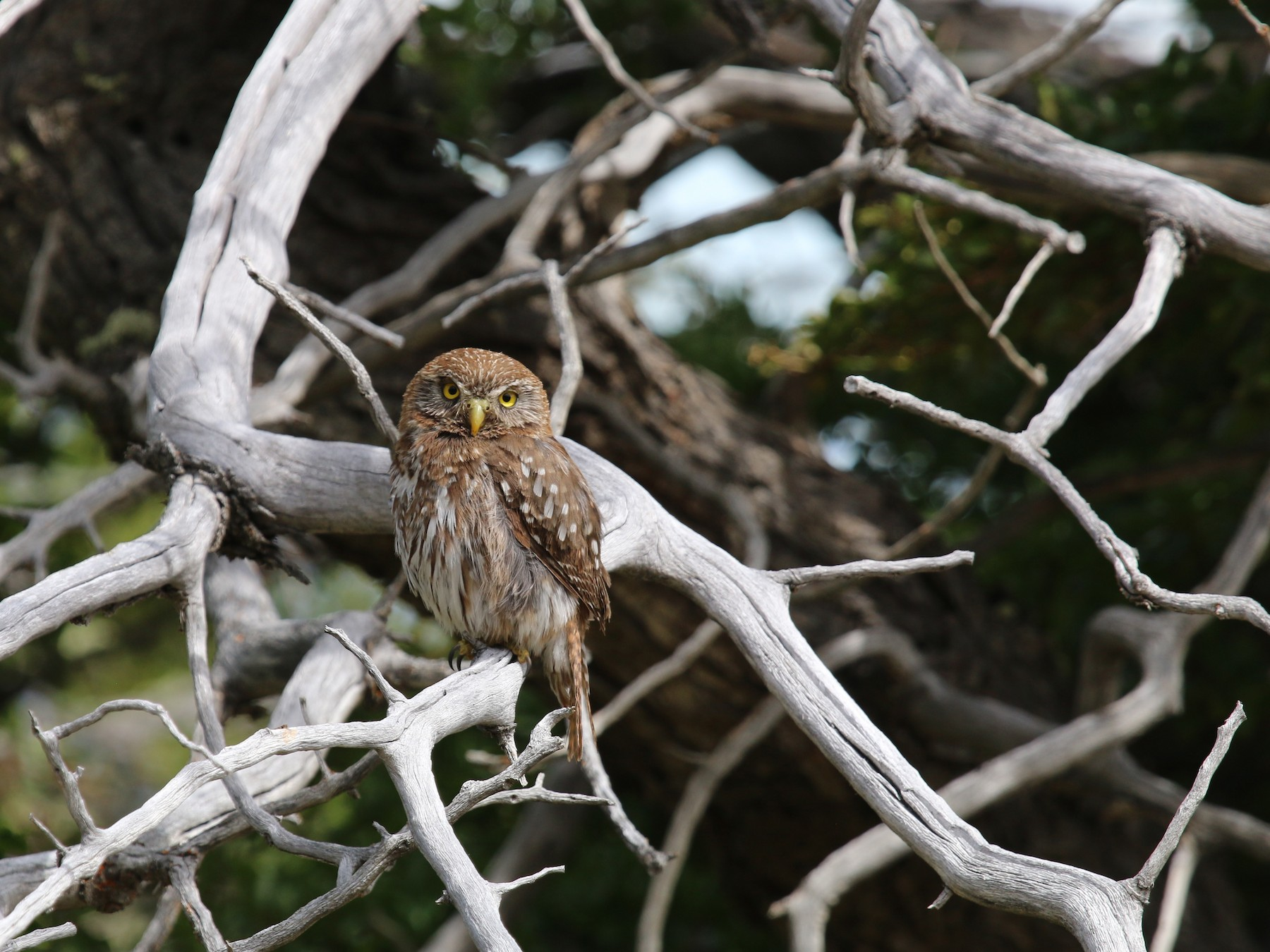 Austral Pygmy-Owl - Morgan Tingley