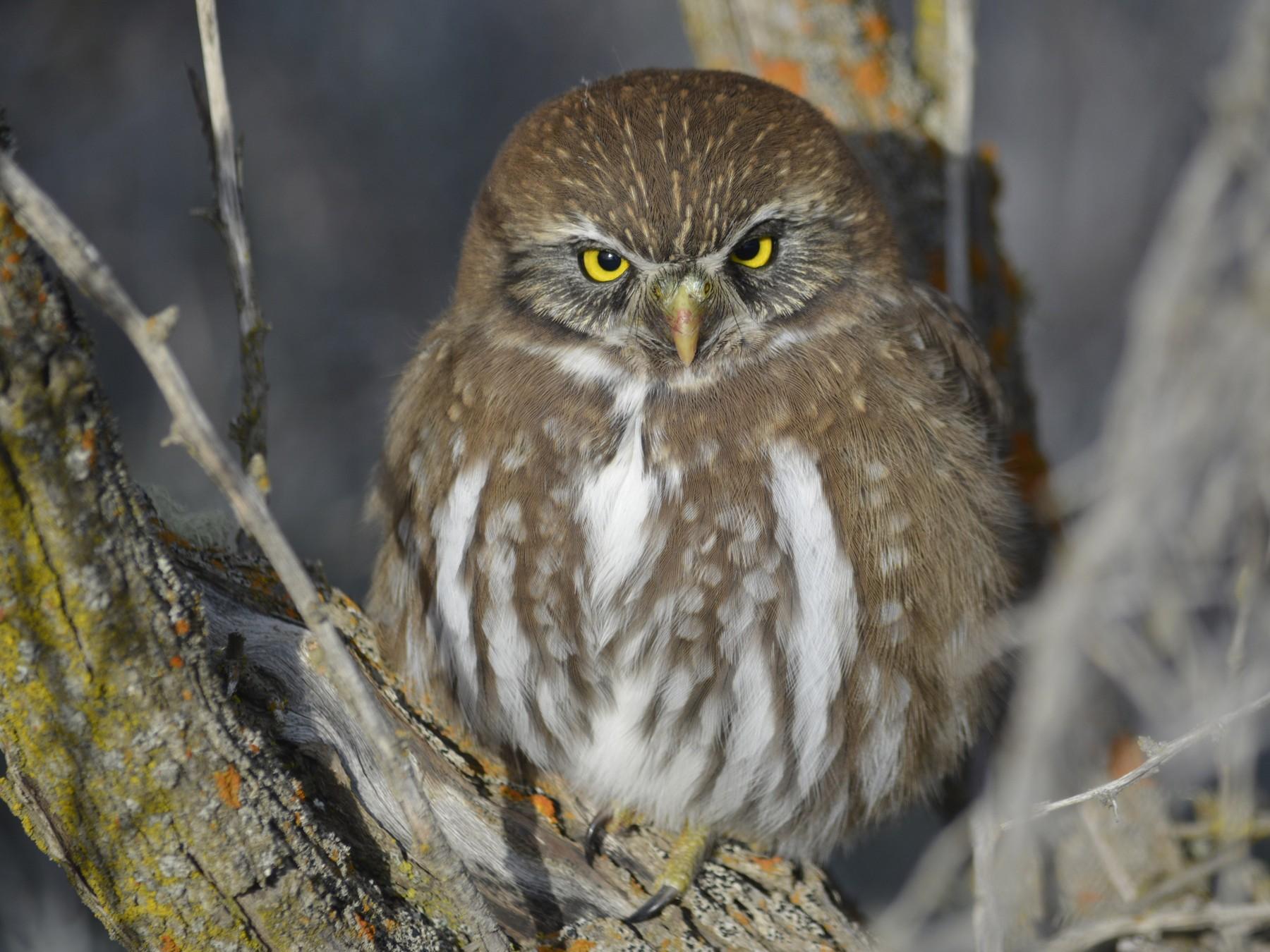 Austral Pygmy-Owl - Silvina Irene Briasco