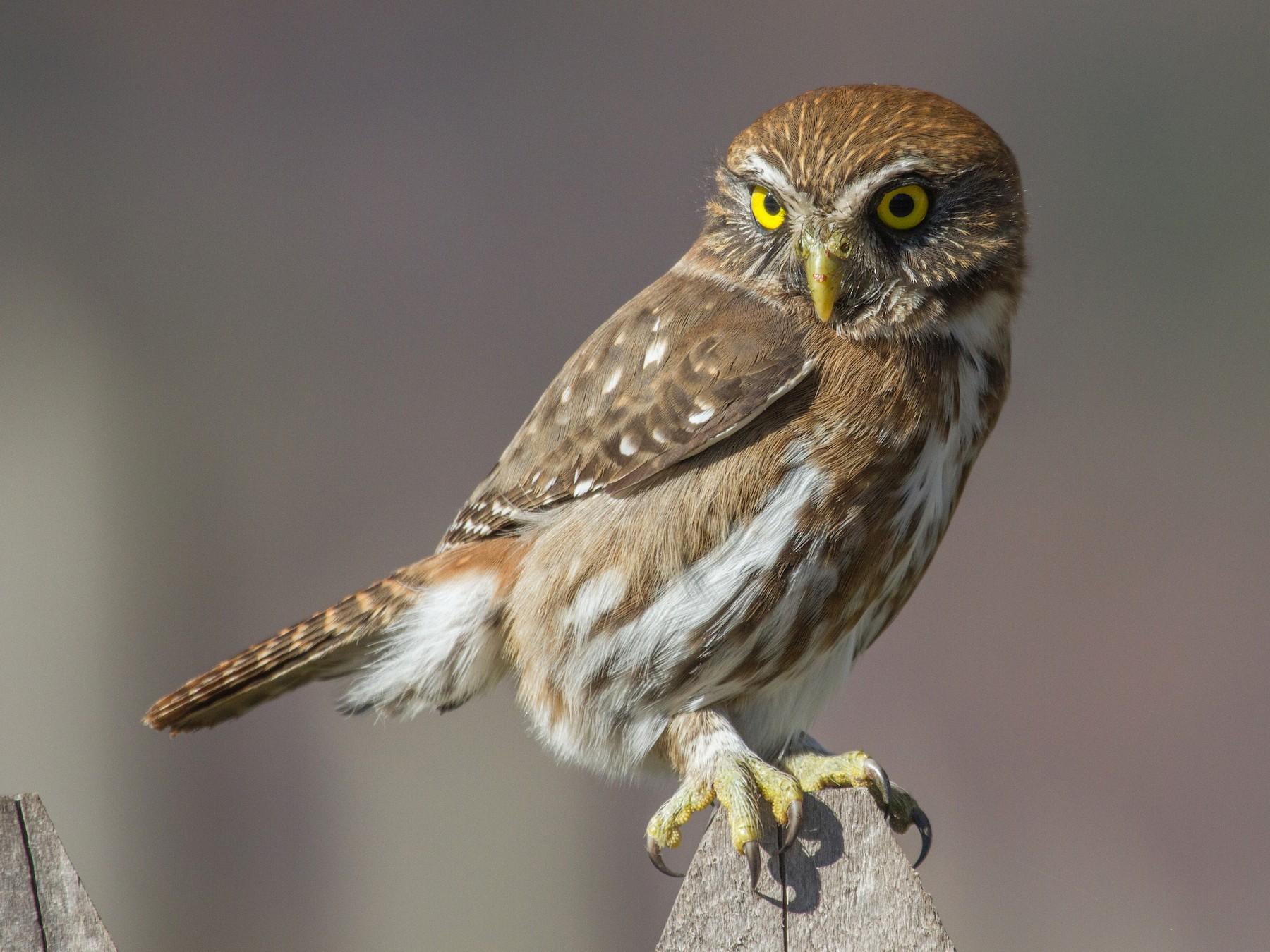 Austral Pygmy-Owl - Ivo Tejeda