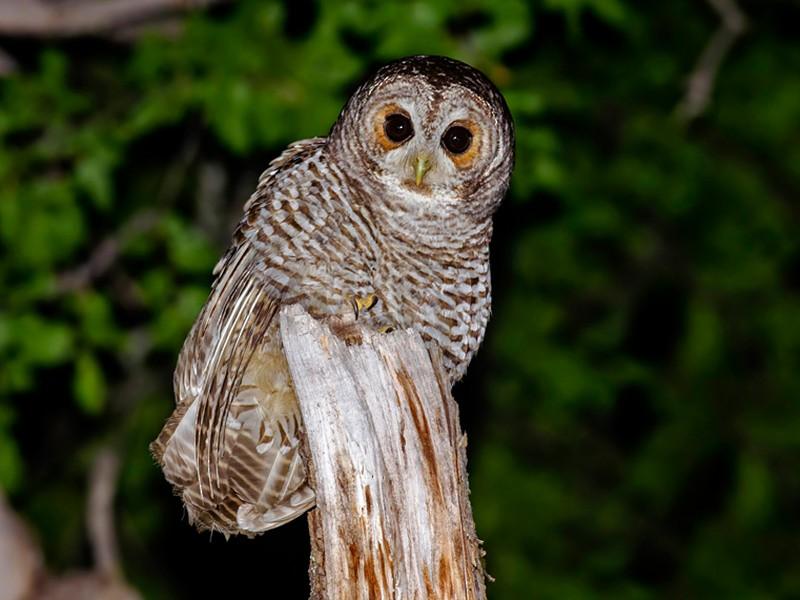 Rufous-legged Owl - Andrés  Terán