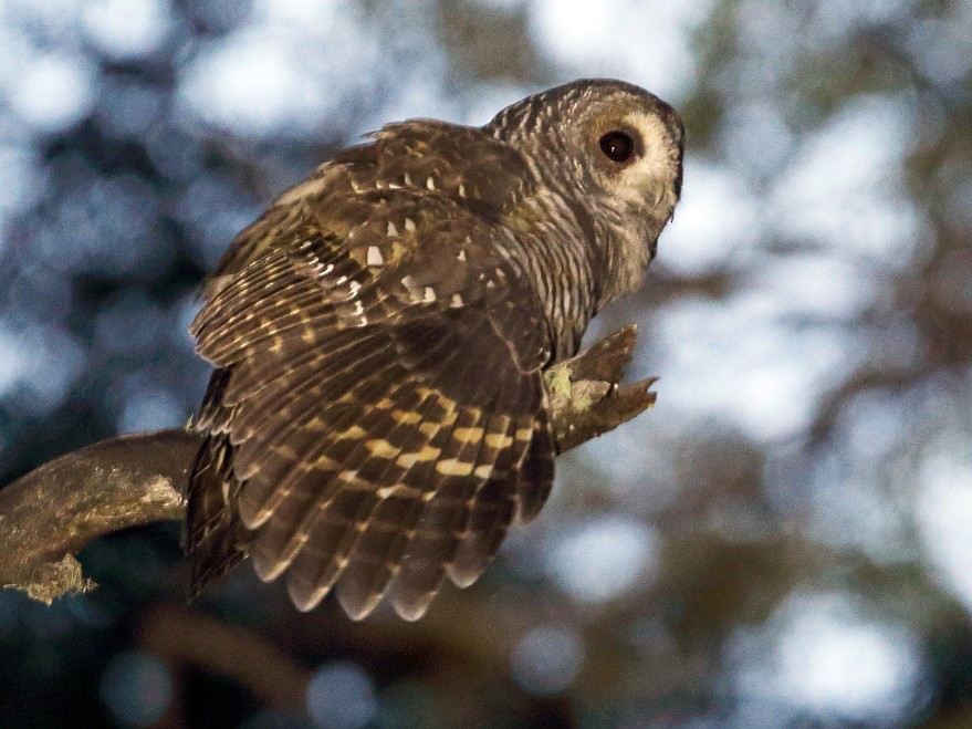 Rufous-legged Owl - Martjan Lammertink