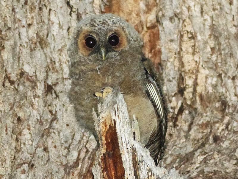 Rufous-legged Owl - Julien Birard