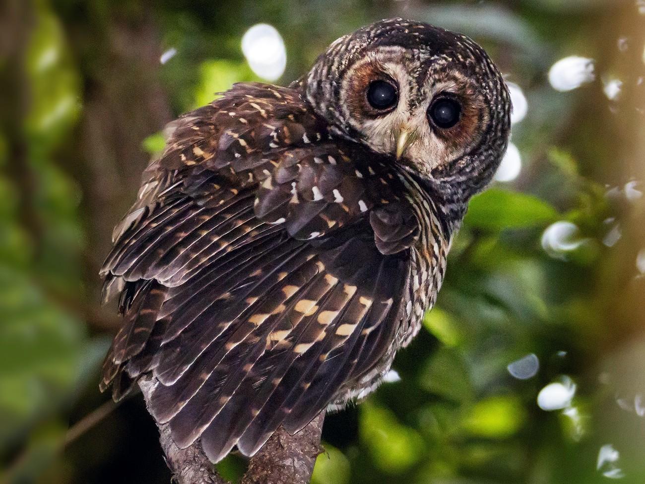 Rufous-legged Owl - Pio Marshall