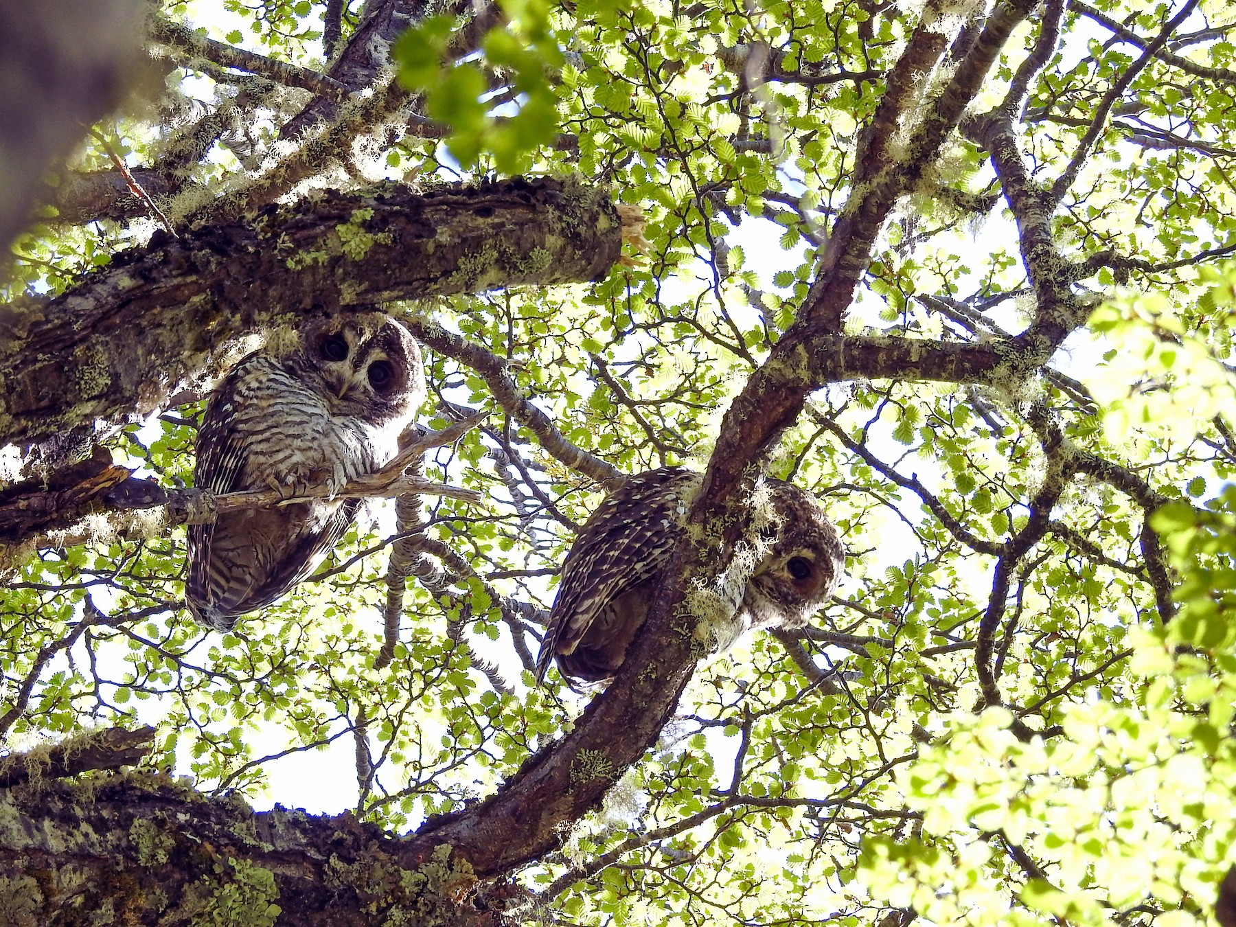 Rufous-legged Owl - jorge chamia