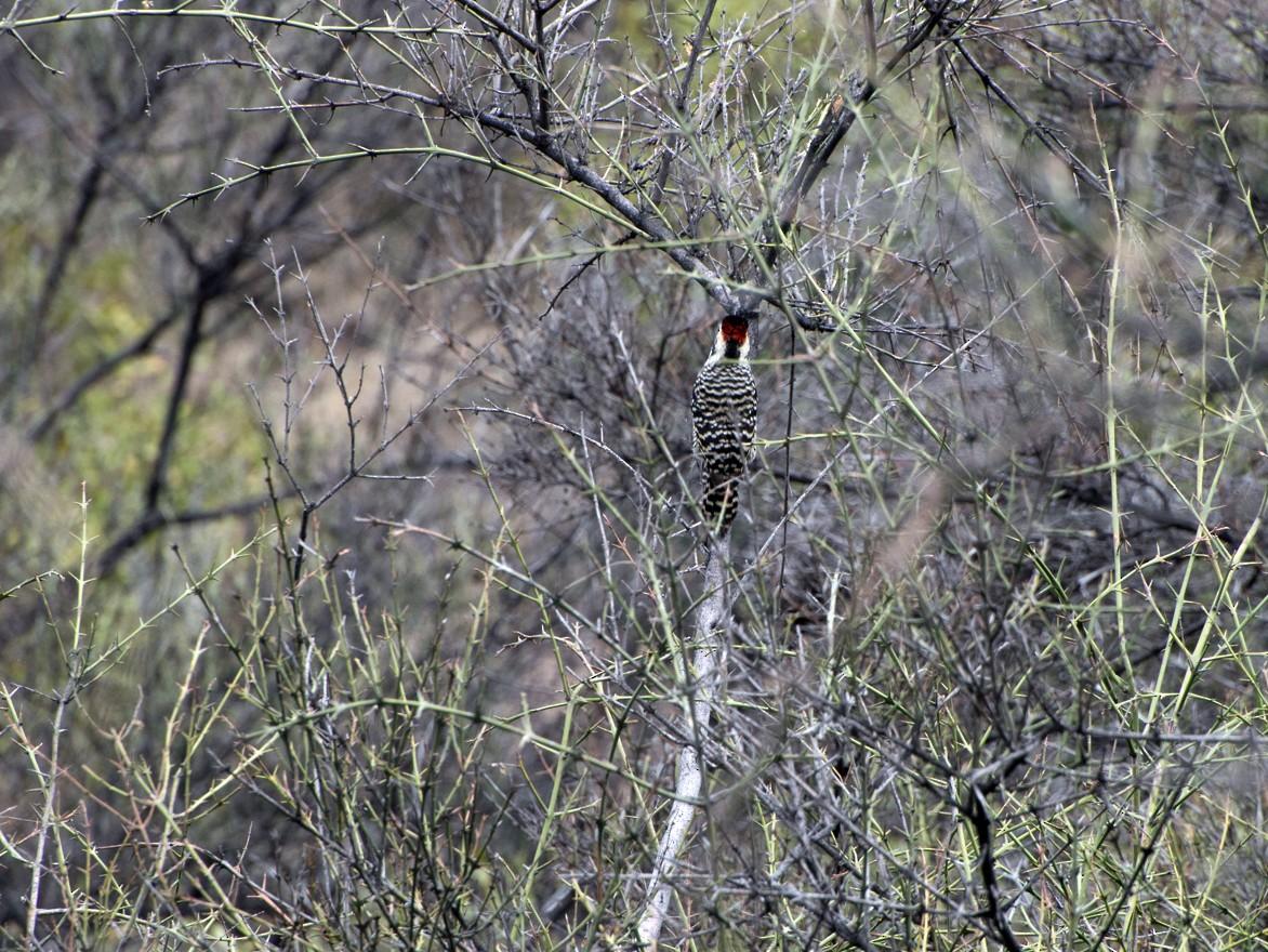 Striped Woodpecker - Cristian Pardo