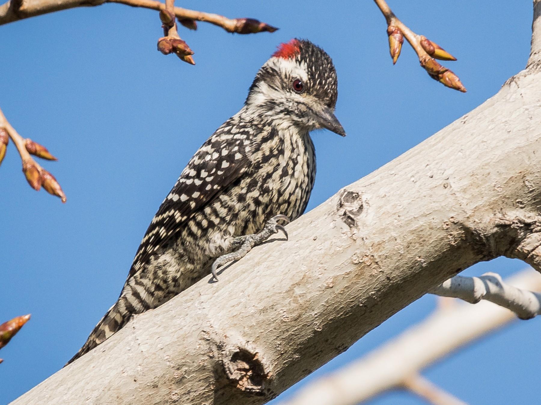Striped Woodpecker - Vicente Pantoja Maggi