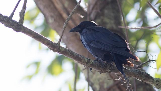 ©Doug Hitchcox - Fish Crow