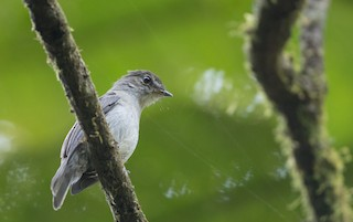 - Chapin's Flycatcher (Chapin's)