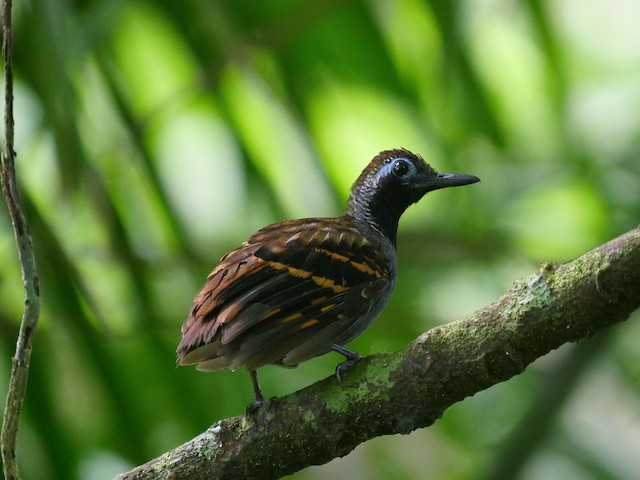 Wing-banded Antbird