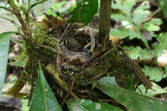 Nestling of Long-billed Gnatwren (subspecies <em>rufiventris</em>).