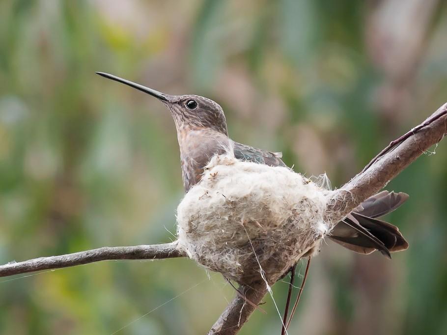 Giant Hummingbird - Ariel Cabrera Foix
