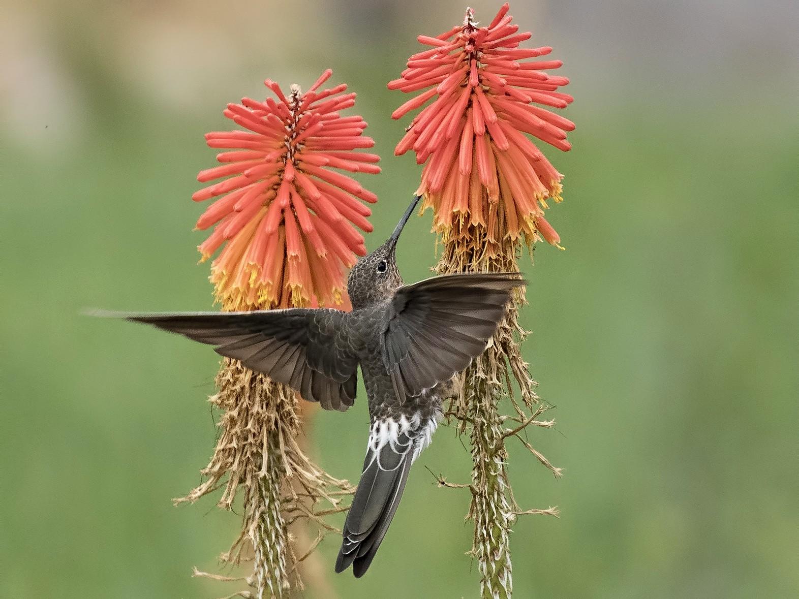 Giant Hummingbird - Peter Hawrylyshyn