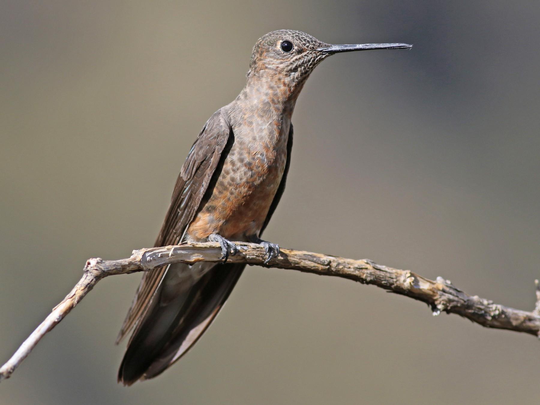 Giant Hummingbird - Jay McGowan
