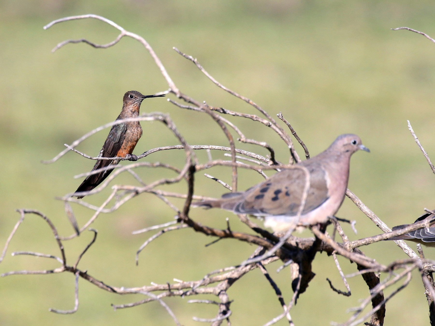 Giant Hummingbird - Jonah  Benningfield
