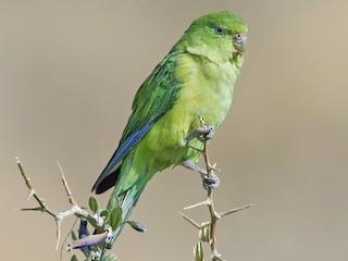 - Mountain Parakeet