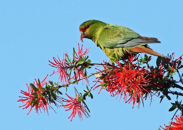 Slender-billed Parakeet